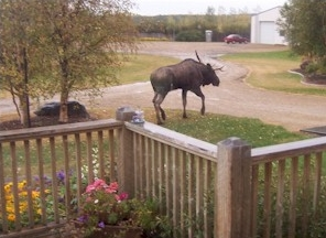 BnB - wildlife moose