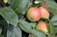 CSA - apples