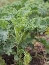 CSA - cabbage